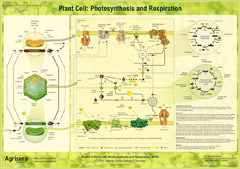 Agrisera Photosynthesis and Respiration Poster
