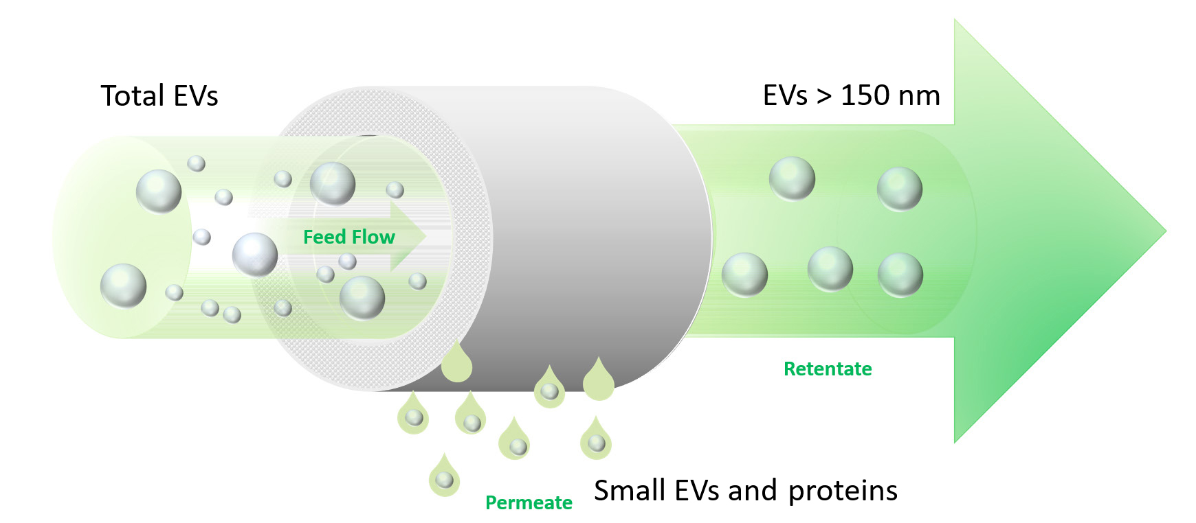 TFF-MV: Separation, puriifcation and concentration of large EVs